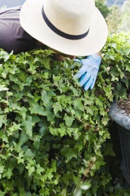 Kill A Tough Bush Privet Hedge Hedges Plant Hardiness Zone