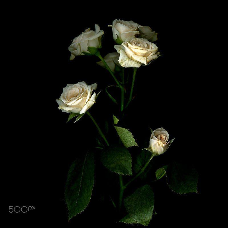 Never Enough Roses By Magda Indigo On 500px S Izobrazheniyami