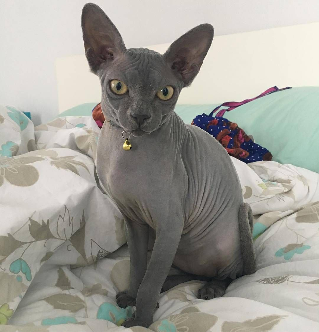 This Particular Breed Of Cat Is Medium Sized With The Most Noticeable Features Being The Little To No Hair And Cute Hairless Cat Hairless Cat Cats And Kittens