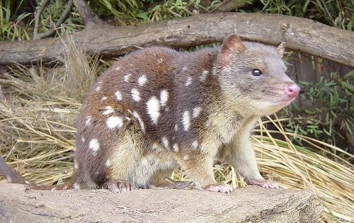 Animals Beginning With E Pictures Of Animals Beginning With Q Webanswers Com Quoll Australia Animals Animals