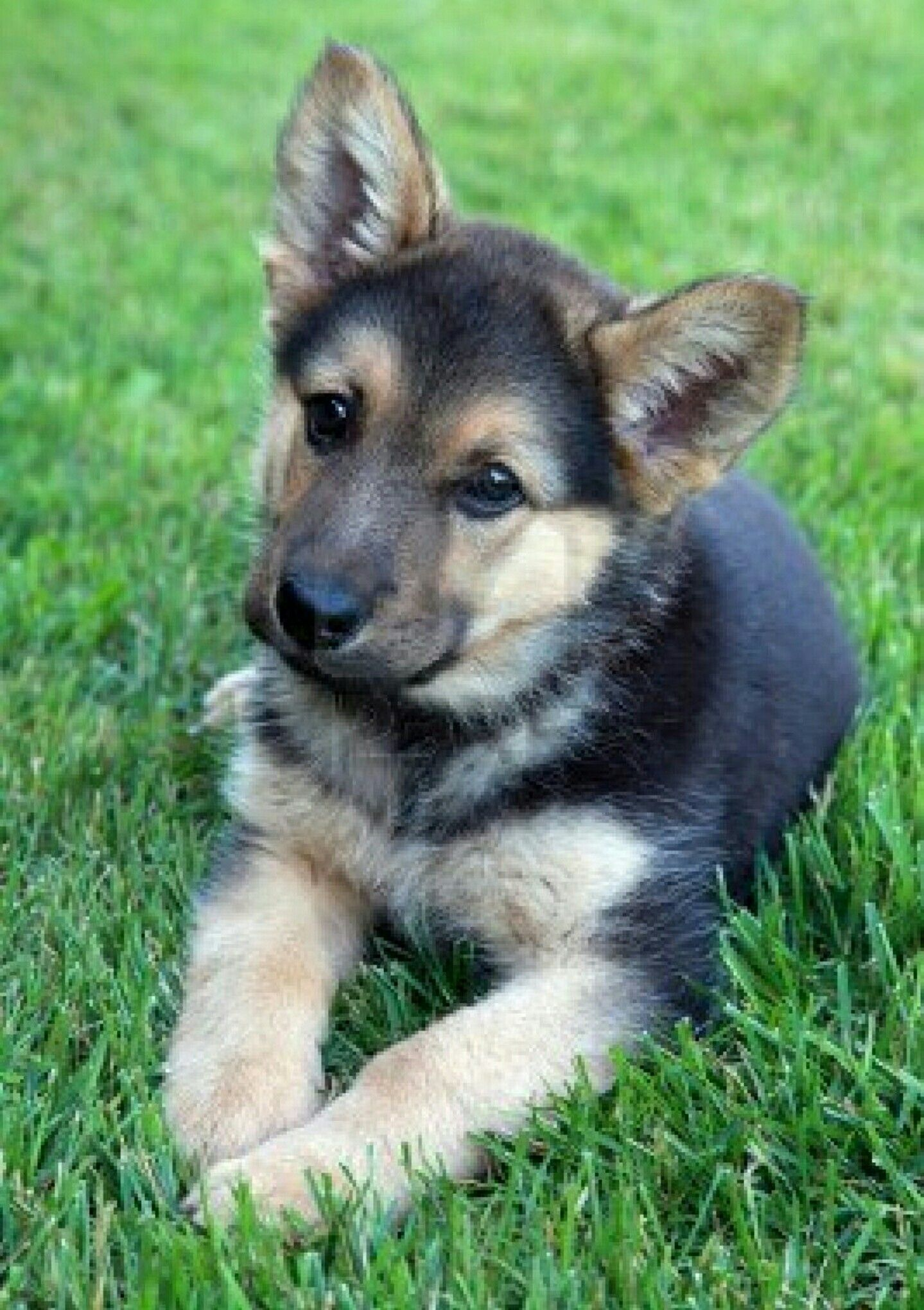 What Did I Do This Time Such A Cute German Shepherd Puppies