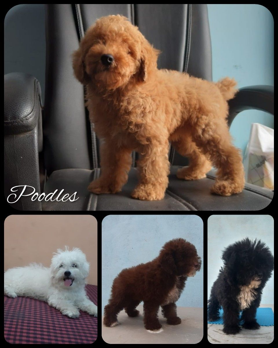 Beautiful Toy Poodles Tags Poodles Boskyskennel Boskyskennel