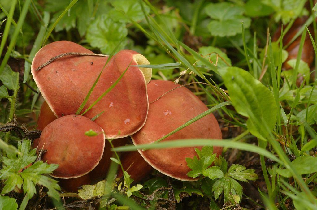 https://flic.kr/p/8neCuK | Boletus rubellus | Rode boleet - Ruby bolete | Een eetbare paddenstoel die je in de zomermaanden kan vinden.  De porien kleuren bij kneuzing meteen blauw.