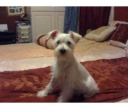 Ckc White Miniature Schnauzer Is A White Female Miniature Schnauzer Puppy For Sale In Pico Rivera Ca White Miniature Schnauzer Schnauzer Puppy White Schnauzer