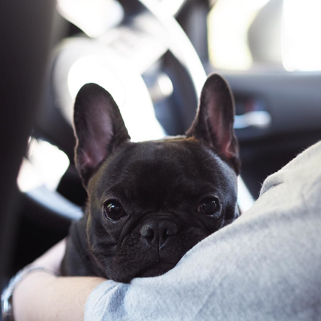 French Bulldog Puppy What A A Face Bulldog Puppies French