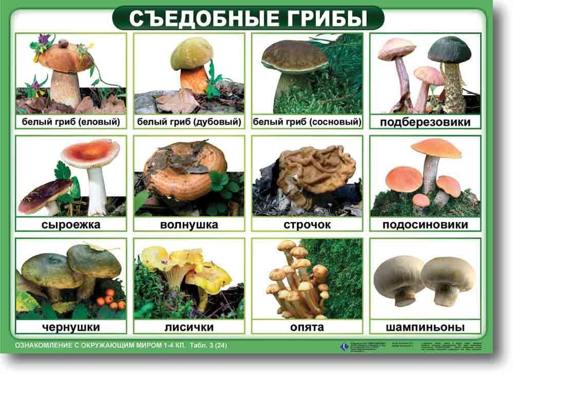 Картинки условно съедобных грибов с названиями