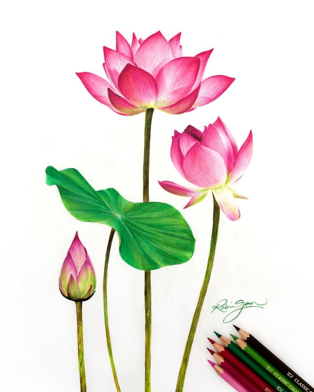 """""""The Awakening"""" New drawing of lotus flowers as a"""