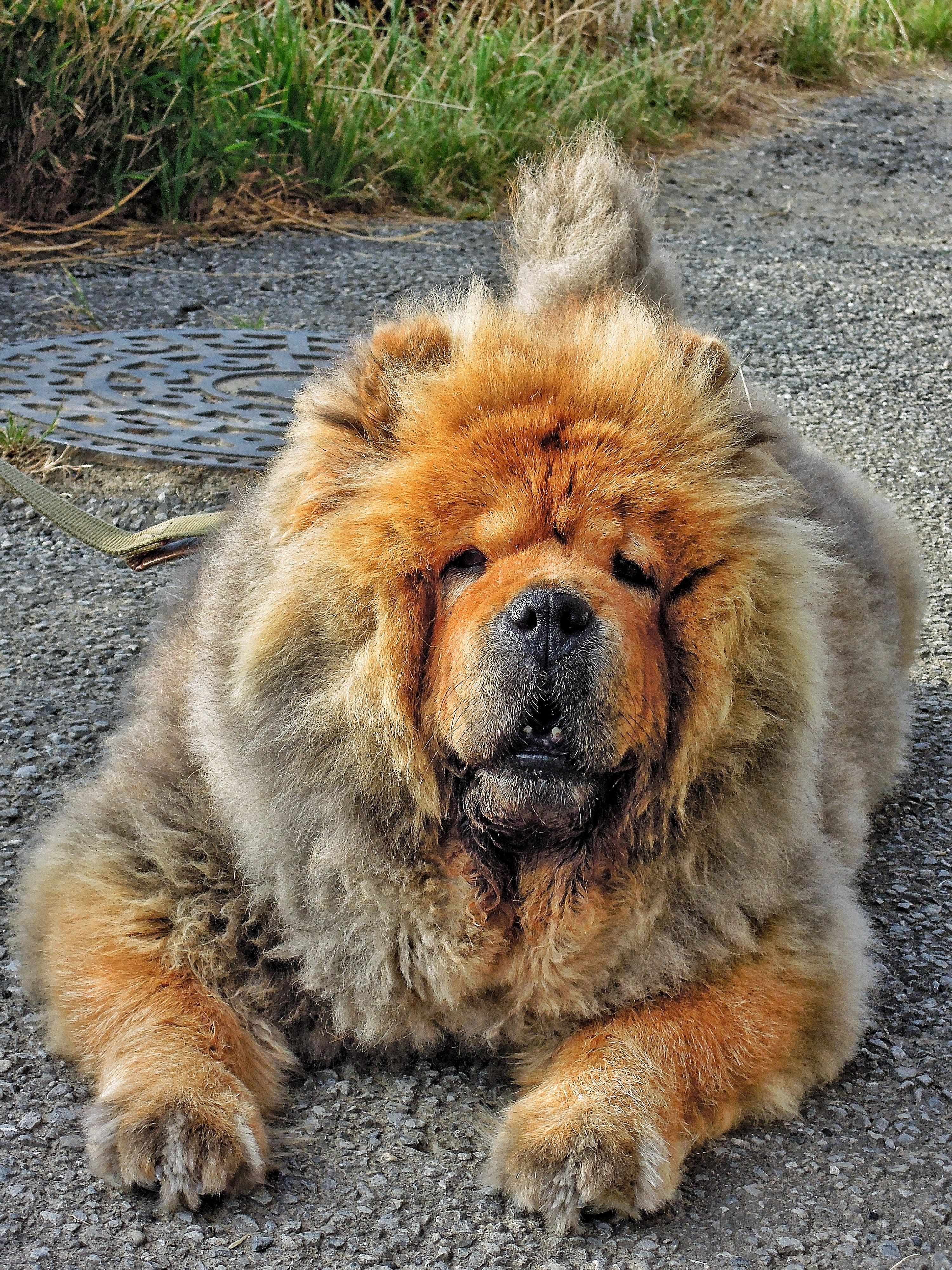 Not A Lion This Is Lang Lang Chow Chow Dog Dogs Boo The Dog