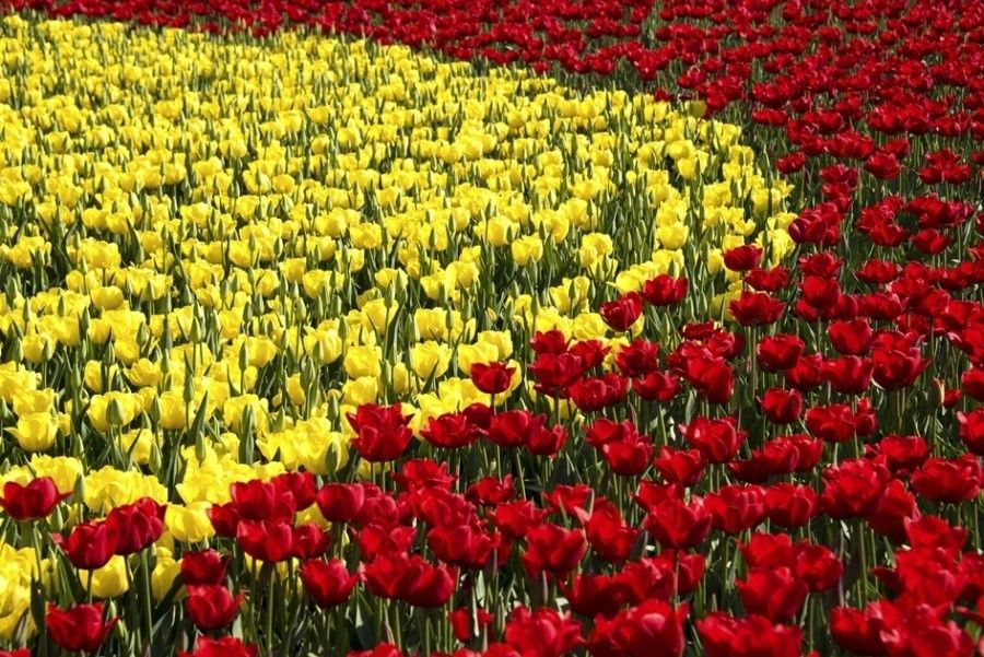 Yellow and red tulips in a flower festival, Taean, South Korea