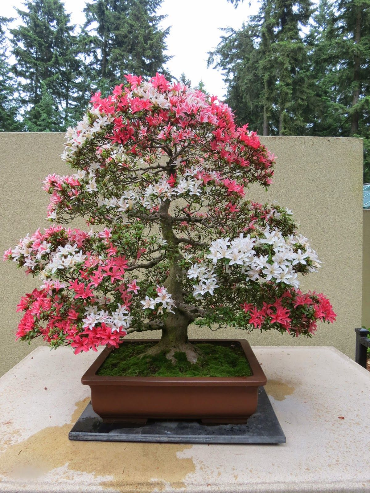 Rhododendron Care How To Grow Beautiful Rhododendrons and