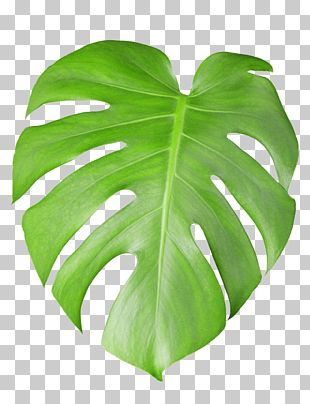 Swiss Cheese Plant Stock Photography Leaf Tropical Plant Leaves Green Swiss Cheese Leaf Png Clipart Plant Leaves Tropical Plants Cheese Plant