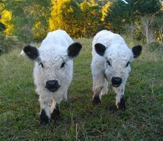 Miniature White Park Cattle Google Search Mini Cows Miniature Cattle Animals