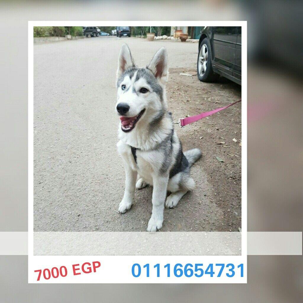 مصر القاهرة كلب هاسكى ذكر ٥ شهور عين وعين معاه شهادة التطعيمات Pet4sell Dogs Animals Husky