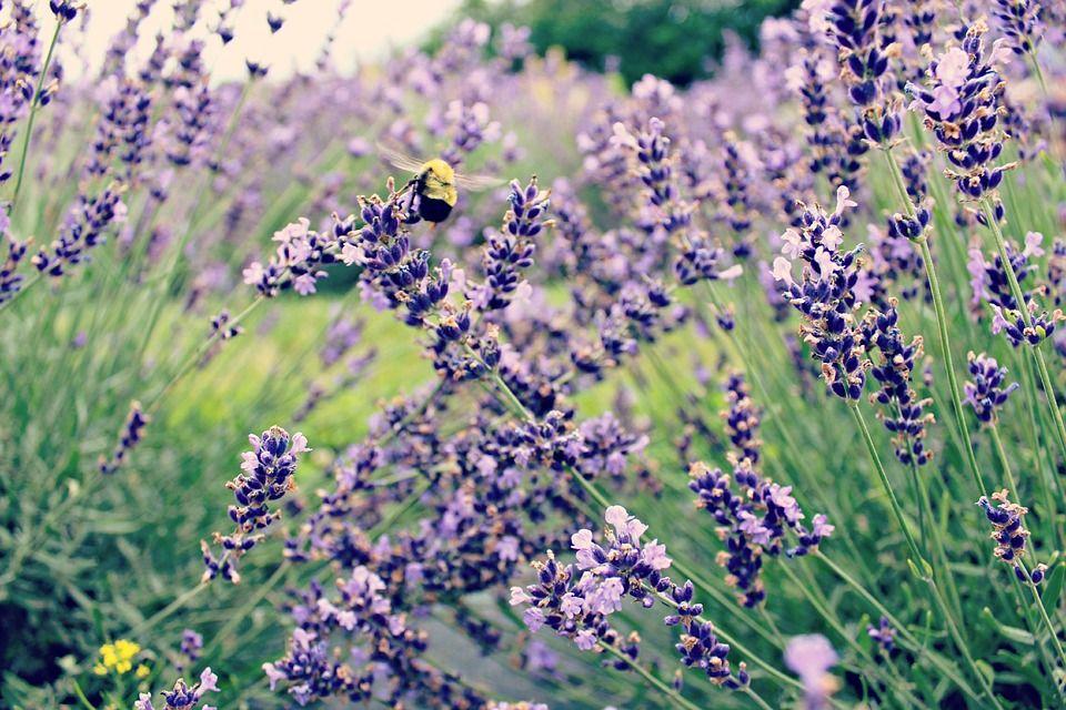 Mehiläinen, Laventeli, Kukka, Purple, Hyönteinen