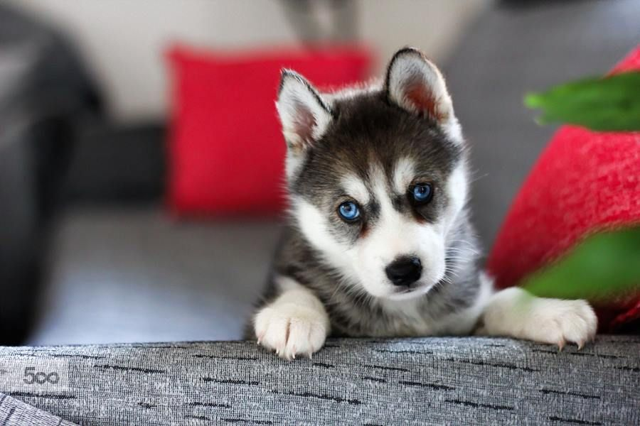 Blue Eyes Via 500px Husky With Blue Eyes Cute Animals Animals