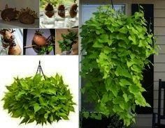Grow Sweet Potato Vines This Sweet Potato Vine plant looks fantastic and is an easy project for the whole family Sweet potHow to Grow Sweet Potato Vines This Sweet Potato...
