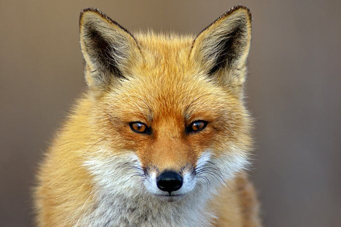 Fox Animal Symbolism And Meanings Spirit Guide Pinterest Foxes