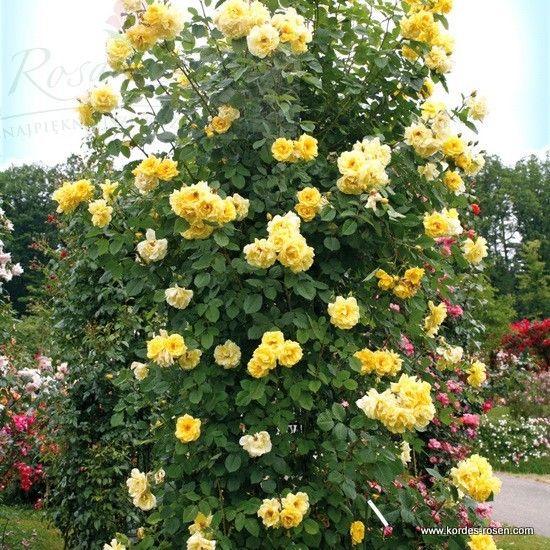 golden gate garden roses pinterest golden gate gate and gardens. Black Bedroom Furniture Sets. Home Design Ideas