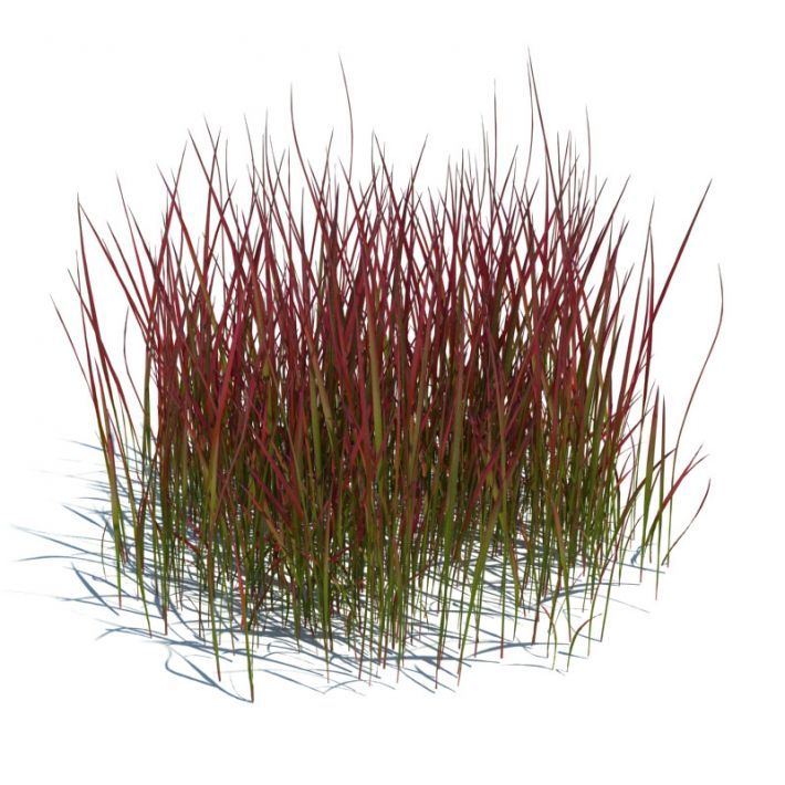 foto de imperata cylindrica red baron Google Search Red baron Herbs Plants