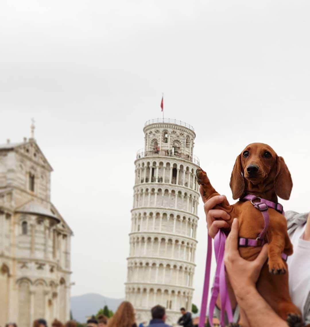 Dox To The Rescue Funny Dachshund Dachshund Weenie Dogs Funny