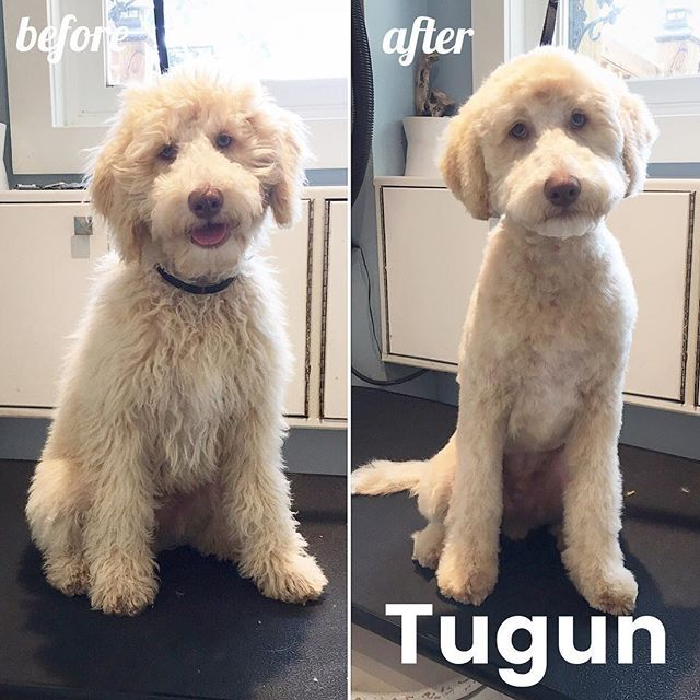 goldendoodle haircut before and after pictures first time puppy groom for tugun the minidoodle