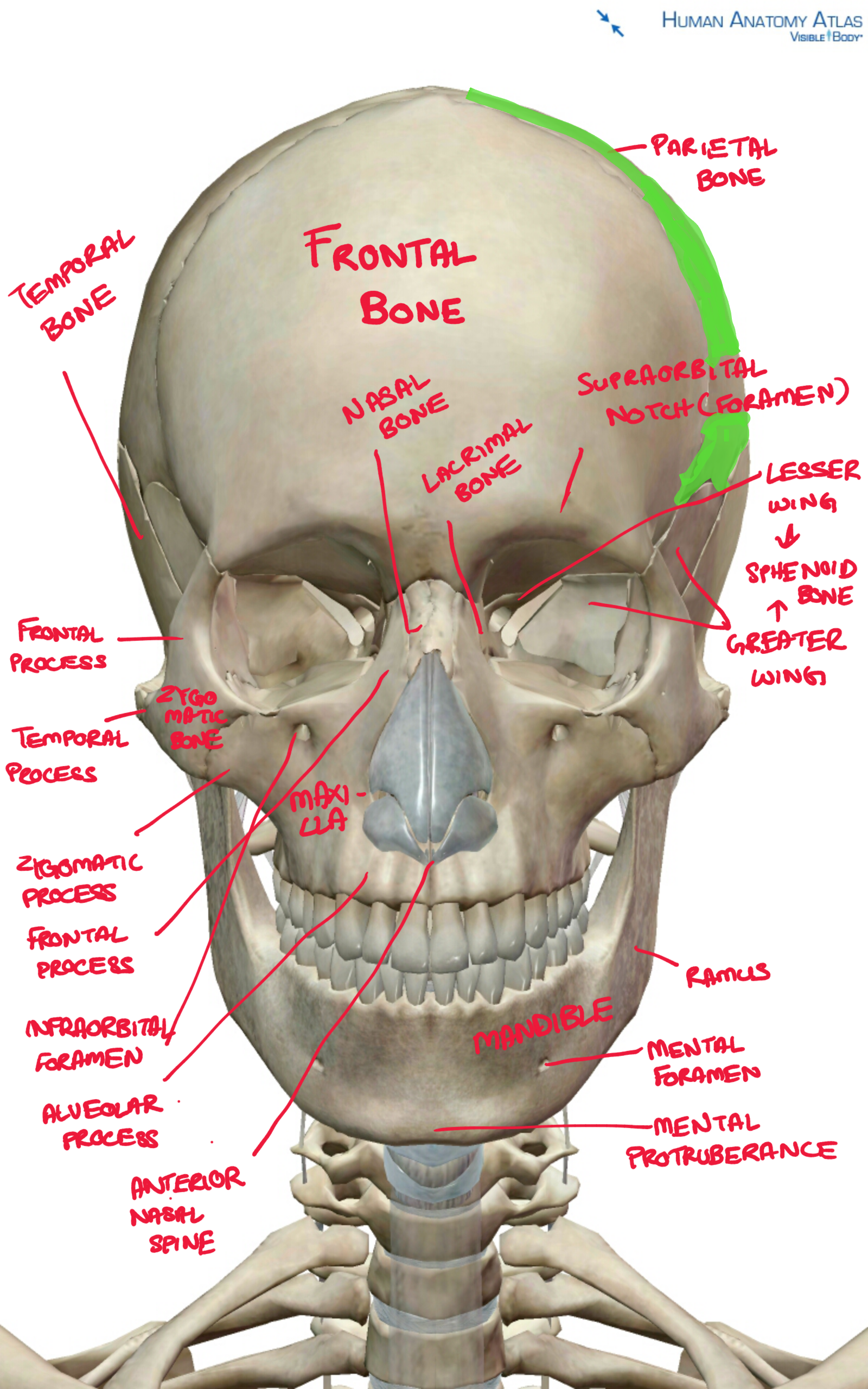 Skull anatomy | Nursing | Pinterest