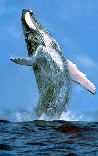 Always Wanted To Go Whalespotting In Monterey Bay NatureTrek - Rare moment 40 ton whale jumps completely out of the water