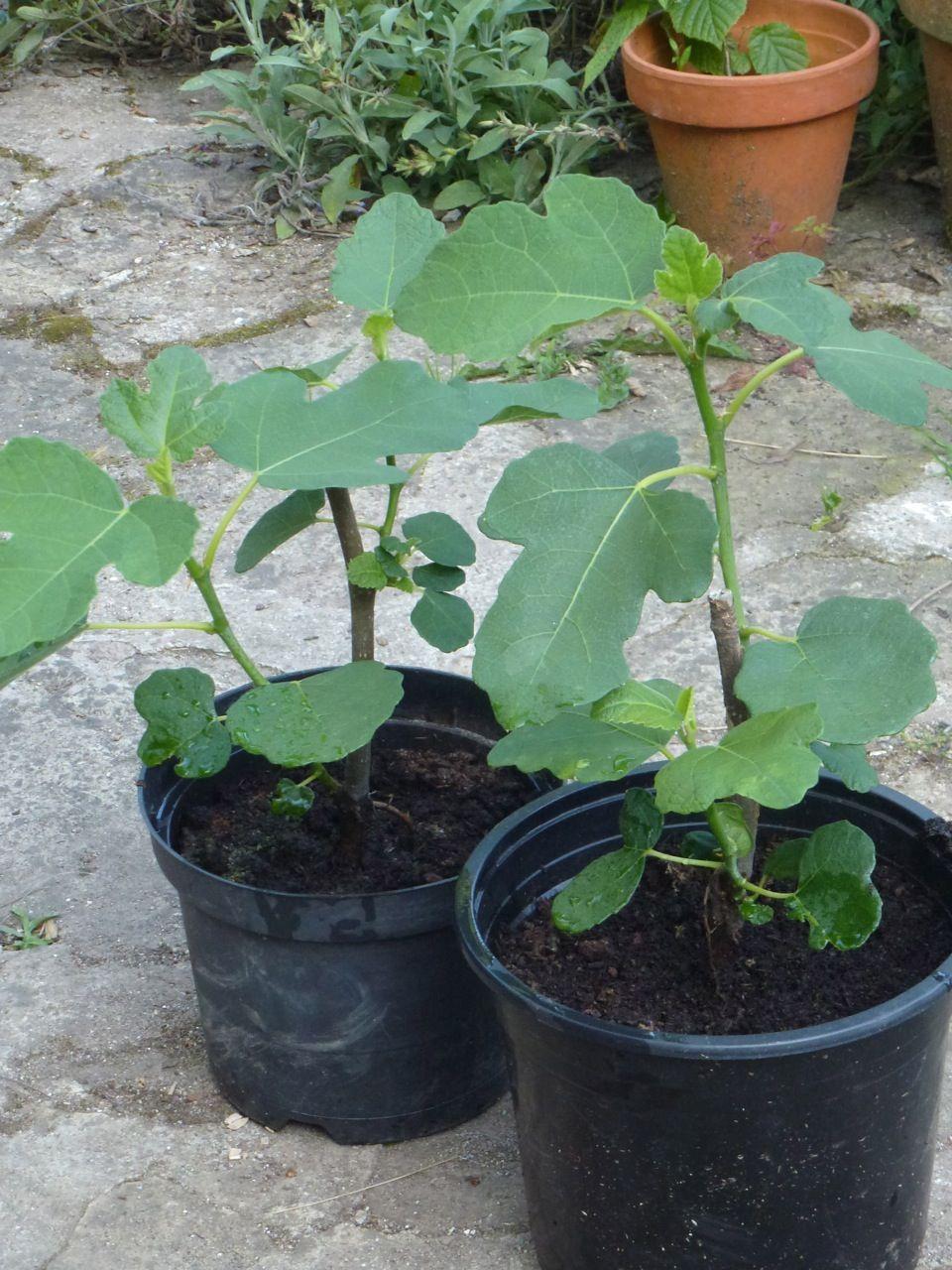 Comment bouturer un figuier   Jardinage   Jardin potager, Jardins et Jardin fruitier