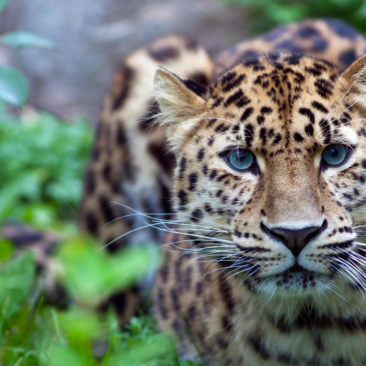 endangered species list 2019 Google Search Amur