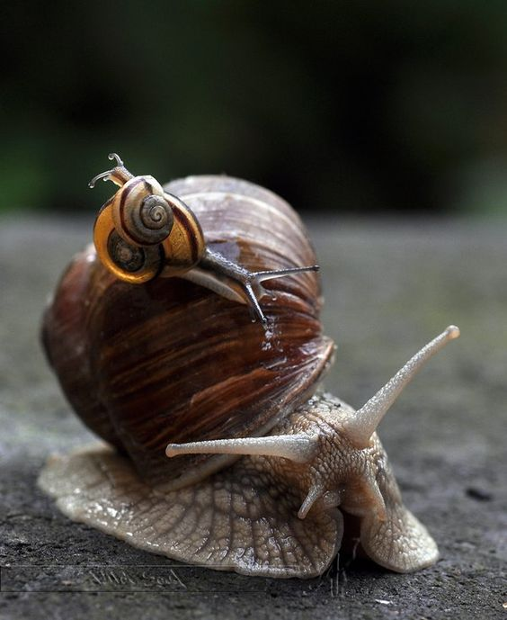 Small snail on big snail | Snail, Animals, Creatures