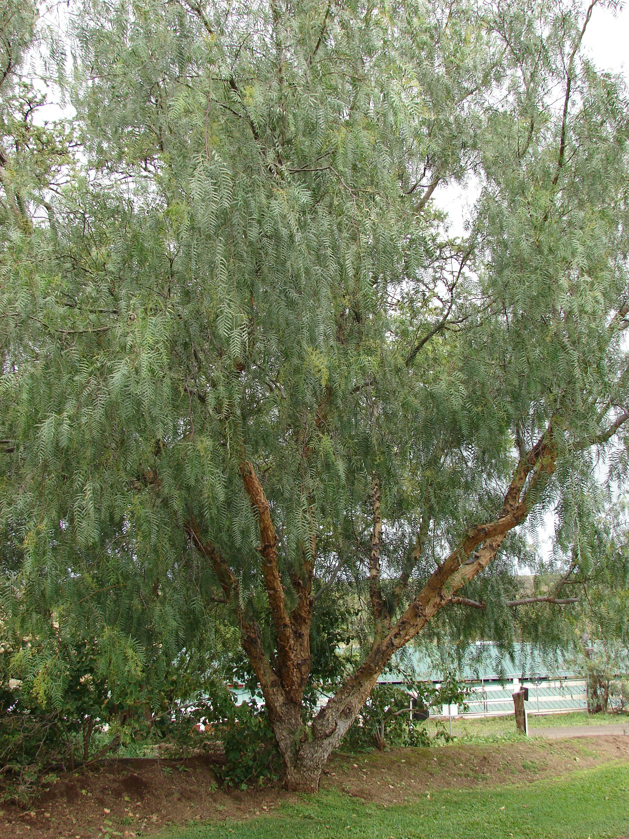 Anacardiaceae Schinus Molle California Pepper Tree With Images