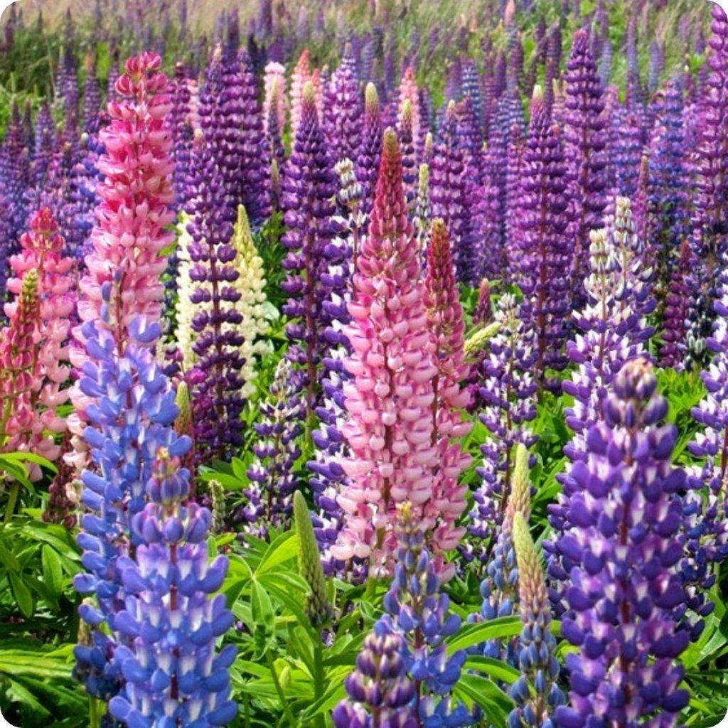 Lupin Flower Seeds Wild Mix Heirloom Untreated NONGMO