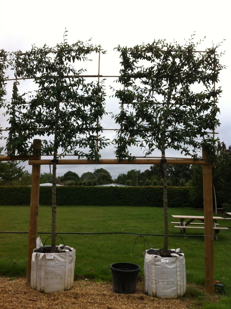 cotoneaster cornubia pleached 18m clear stem on 12m square frame 20 varieties