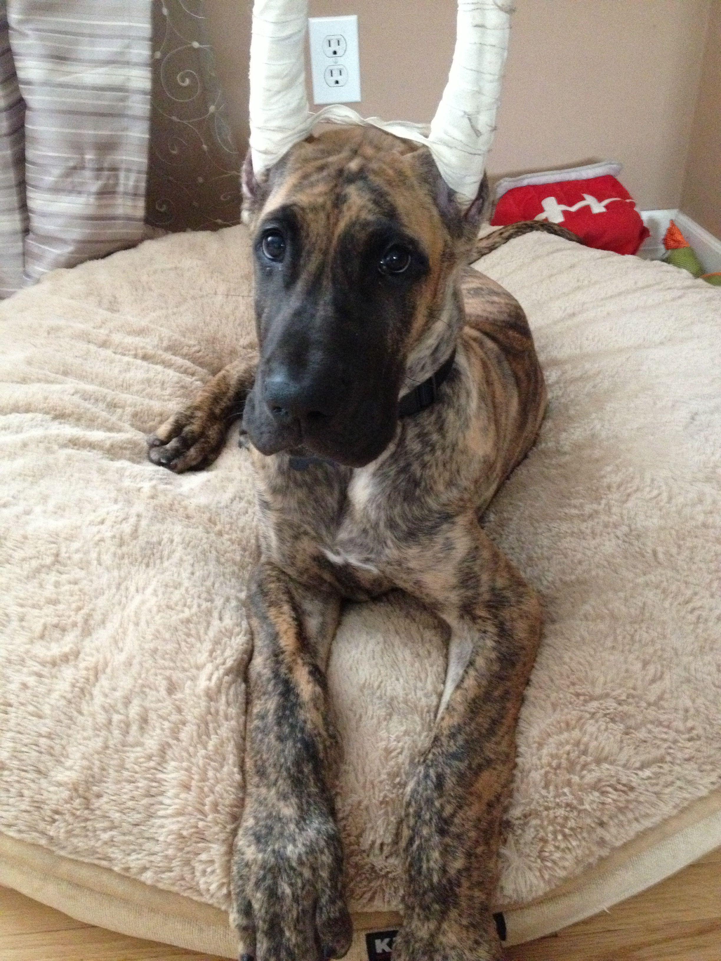 Great Dane Pup 3 Months Great Dane Huge Dogs Dane