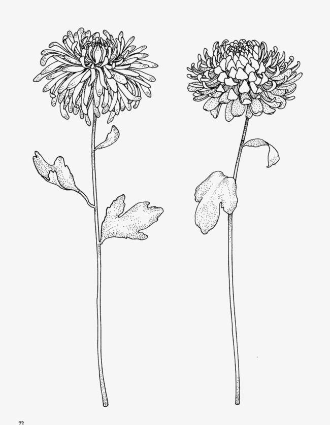Chrysanthemum Pattern Material Chrysanthemum Drawing Chrysanthemum Tattoo Birth Flower Tattoos