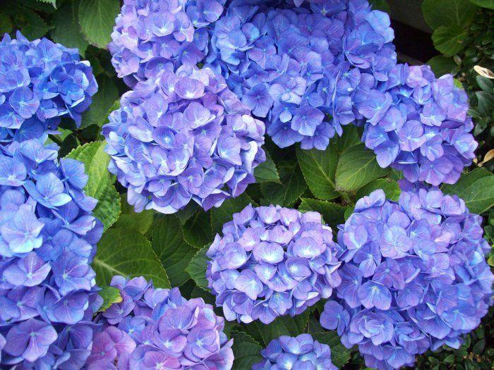 Blaue Hortensie Sorgt Fur Eine Prachtige Farbe Im Garten