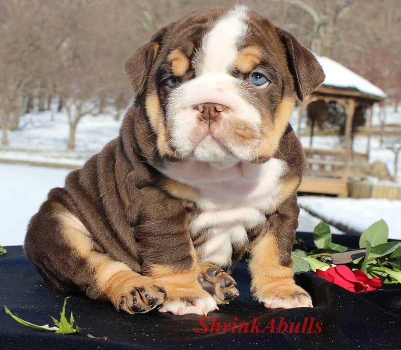 Chocolate Tri Wrinkly Bully English Bulldog Puppies Bulldog