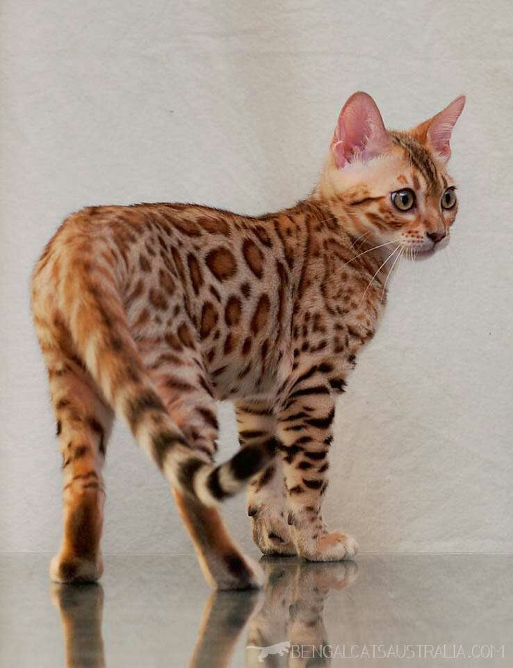 Orange Bengal Cat Bengal Kitten Bengal Cat Bengal Cat Kittens