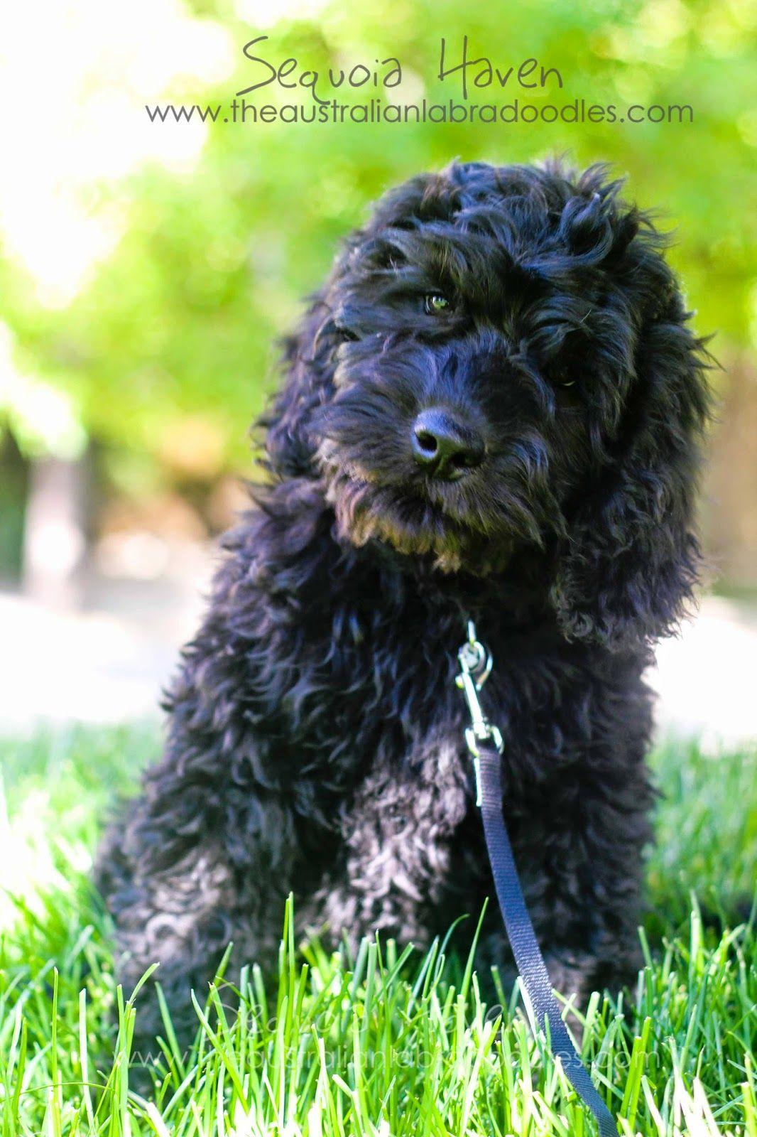 Stunning Glossy Black Australian Labradoodle Boy 3 Australian