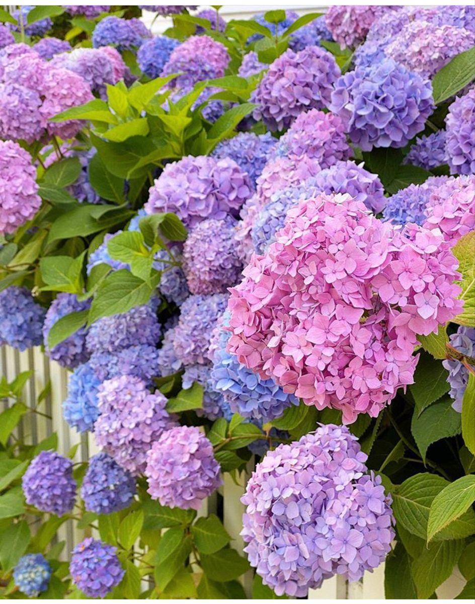 Hydrangeas For Sale In 2020 Hydrangeas For Sale Flowers For Sale Hydrangea