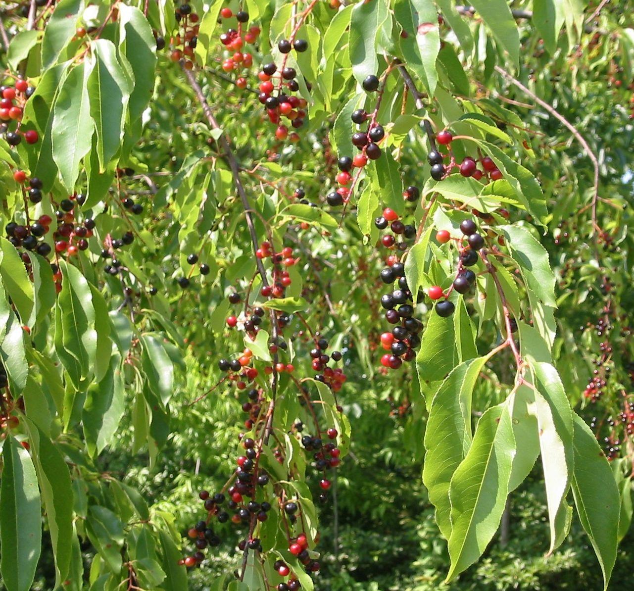 North Carolina Native Plants Society Native Plants Gallery Prunus Serotina Black Cherry Wild Cherry Cabinet Che Native Plants Plants Black Cherry Tree