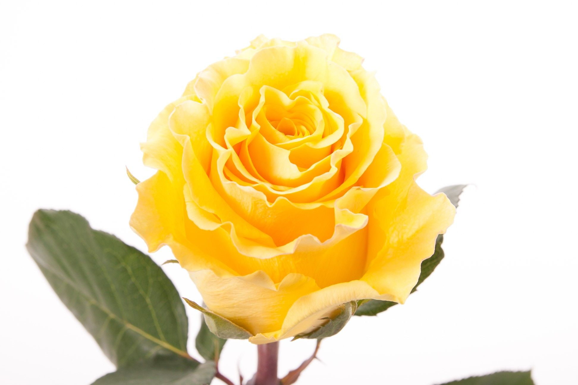 Yellow Rose Brazil Roses Types Of Flowers Flower Muse Yellow Roses Flowers Types Of Flowers