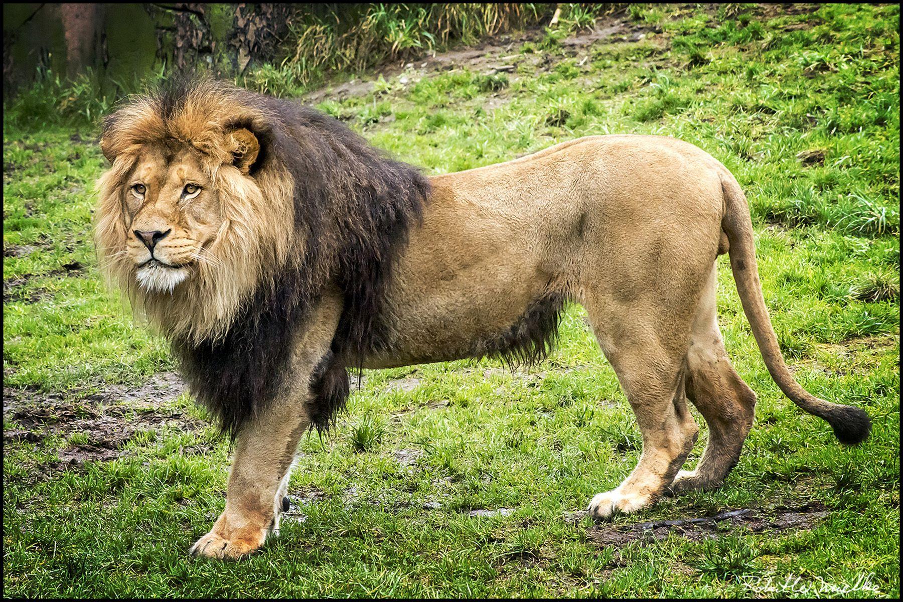 Lion Standing Proud Stock Photos & Lion Standing Proud Stock ...