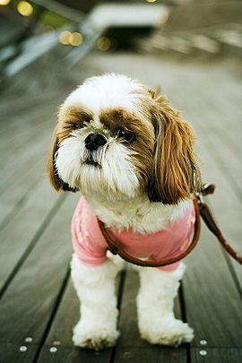 Shih Tzu Baby Animals Cute Baby Animals Puppies