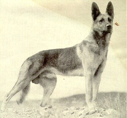 """Strongheart (1917 - 1929) the German Shephard became one of the earliest canine silent film stars of his time, earning a star on the Hollywood Walk of Fame. Some of his movie credits include """"White Fang (1925) and """"Return of Boston Blackie"""" (1927). In 1929, while he was filming a scene for an upcoming movie, he slipped and accidentally made contact with a studio light. He was badly burned and died a few days later"""