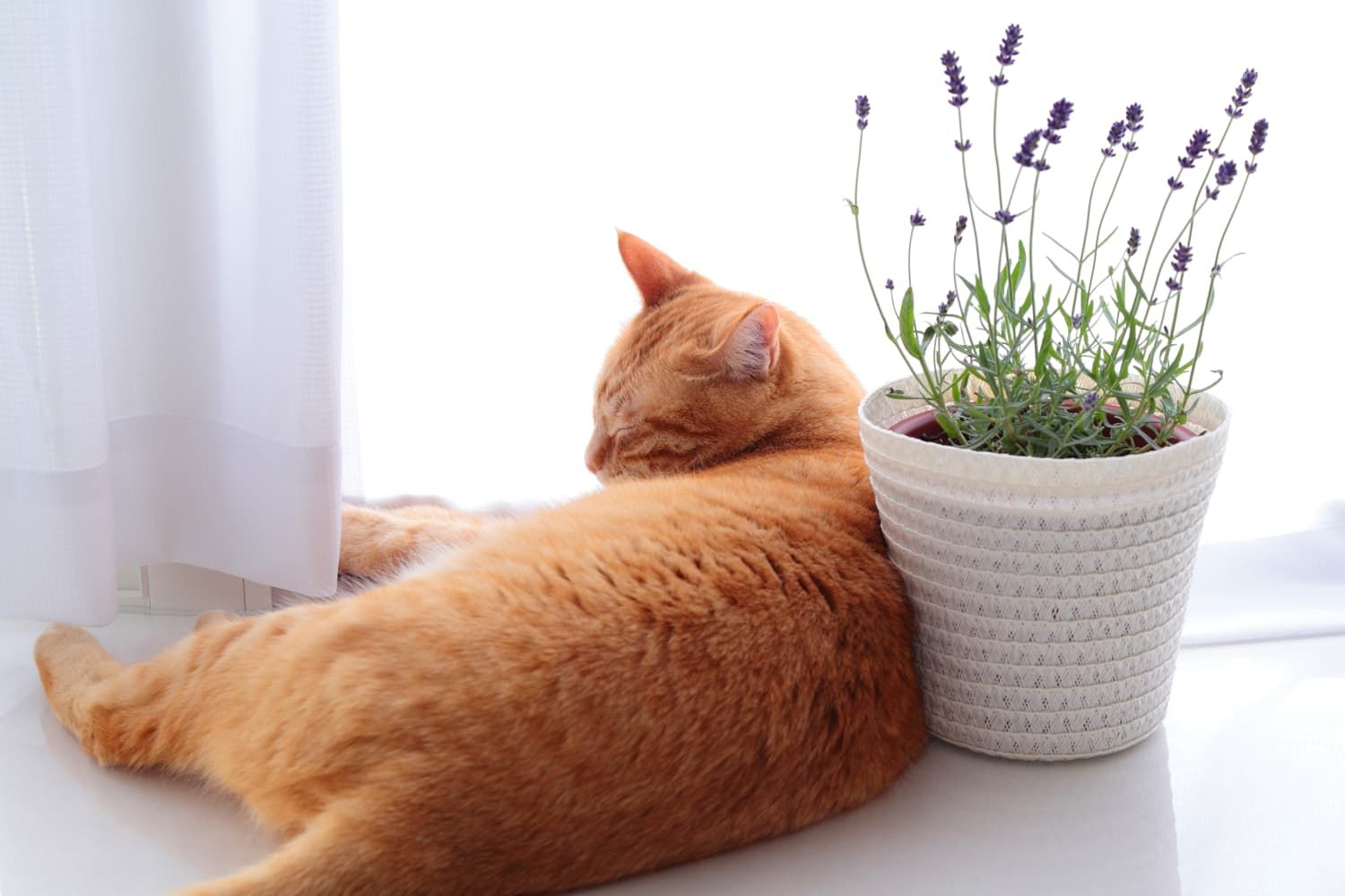 Are Essential Oils Like Lavender Safe for Cats? Cats