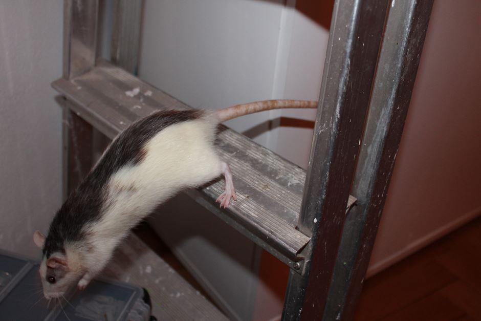 Husky Rat Ratte Auf Der Leiter Farbratten Ratte Haustier Ratten