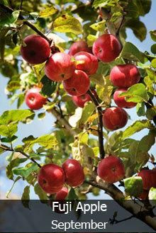 4 In 1 Apple Tree Apple Tree Fast Growing Trees Tree Nursery