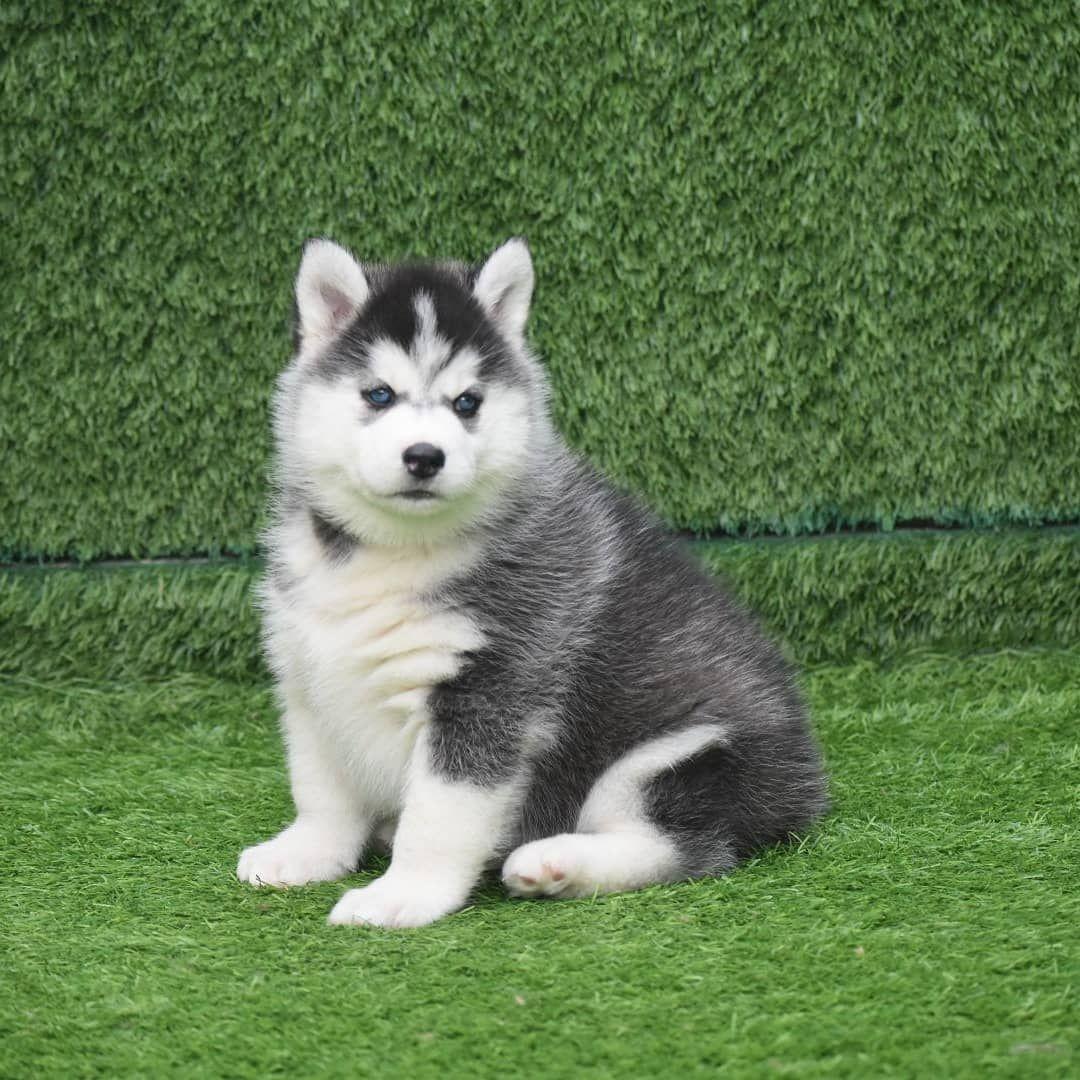 Pin On Siberian Husky Dog Puppy
