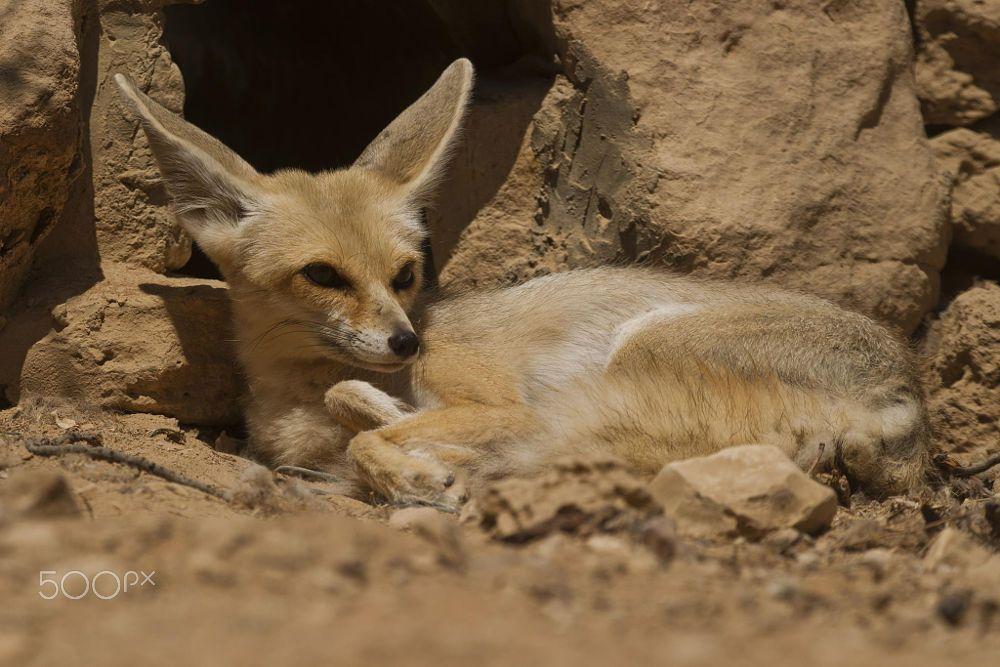 Fennec fox vulpes zerda by photostock israel on 500px - Pagina da colorare fennec fox ...